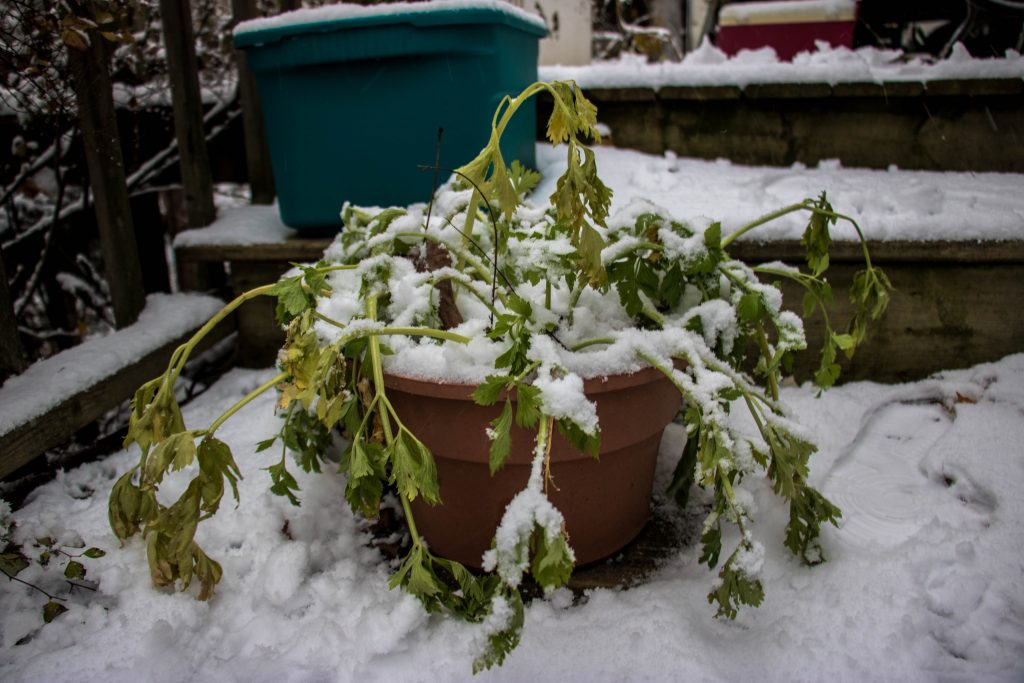 potted plant that died because of a freeze and snow